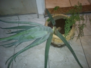 babosa-avenca-guine-dsc00252