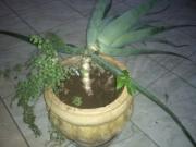 babosa-avenca-guine-dsc00254